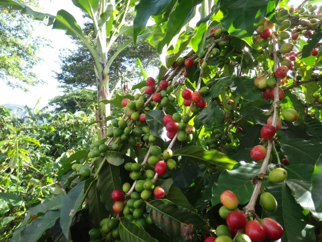 木になるコーヒー豆