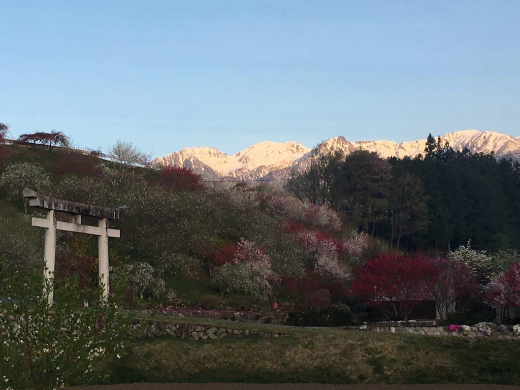 雪山と桜と鳥居