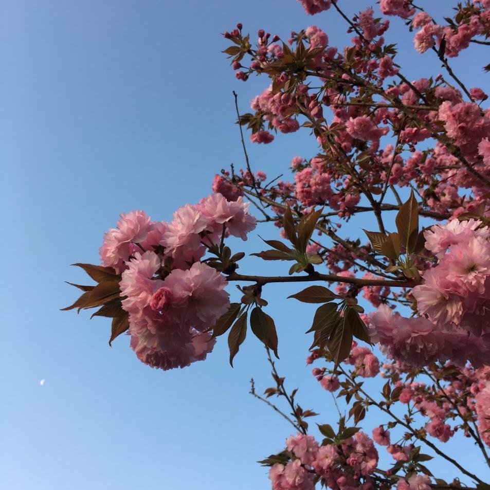 八重桜と月