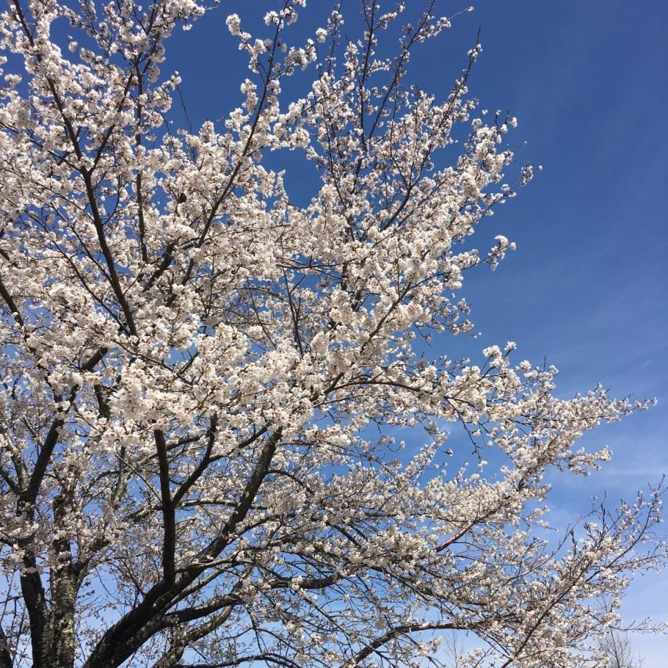 傍のお庭の桜